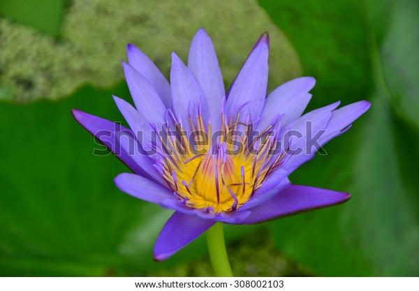 lotus flowers color wall water nature background garden beauty green
