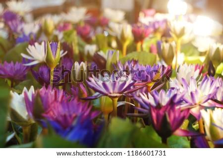 Lotus Flowers Indoor Light Selective Focus Stock Photo Edit Now