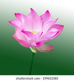 lotus flowers isolated