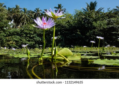 Lotus flowers in lily pads in a Kona, Hawaii lagoon