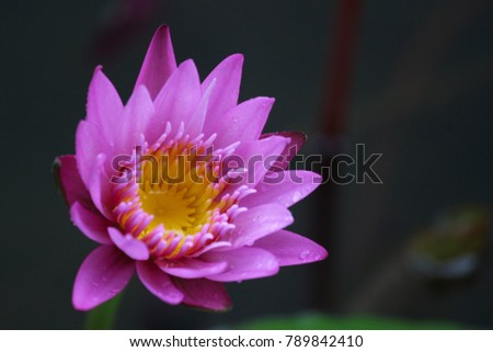Lotus Flowers My Backyard Pond Red Stock Photo Edit Now 789842410