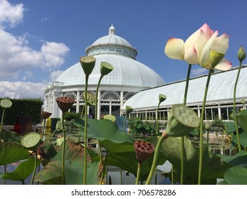 Lotus flowers in the New York Botanical Garden