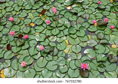 Lotus flowers in a pond. Lotuses are a popular addition to reflection and ornamental ponds throughout Asia.