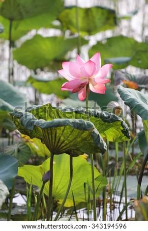 Lotus Flowers Present Many Parts World Stock Photo Edit Now