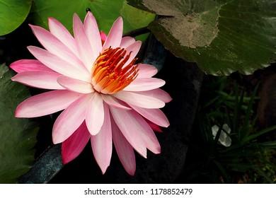 lotus flowers that bloom