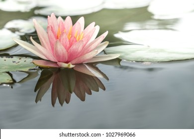 Lotus( fragrant white water lily)