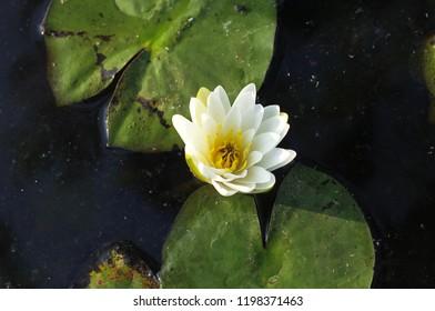 Lotus in the garden, Thailand .  Select focus.