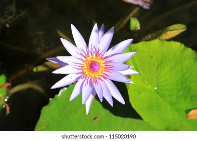 Lotus in Guadeloupe