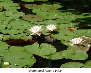 Lotus in Hangzhou Botanical Garden