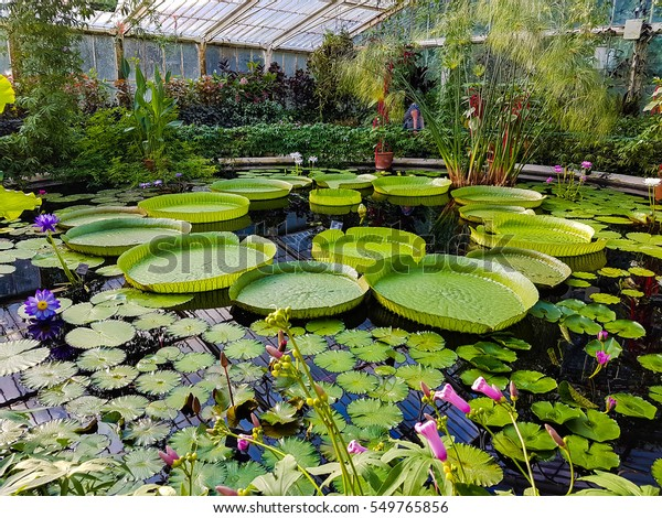 Lotus Kew Garden Stock Photo (Edit Now) 549765856