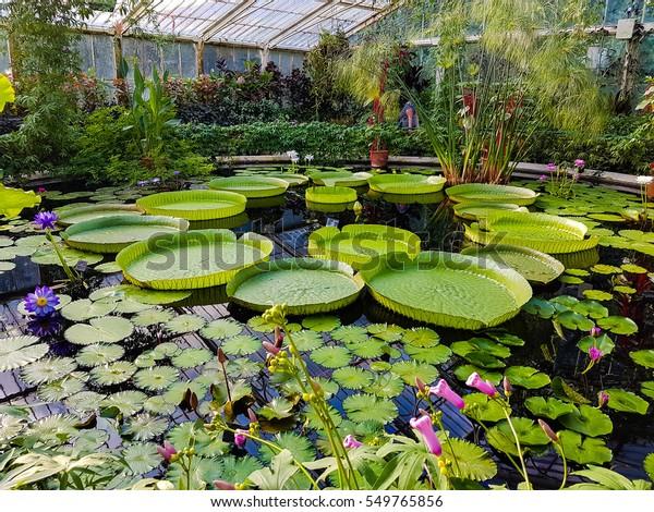 Lotus Kew Garden Stock Photo (Edit Now) 549765856