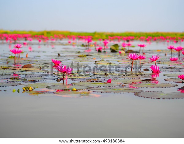 Lotus in lake