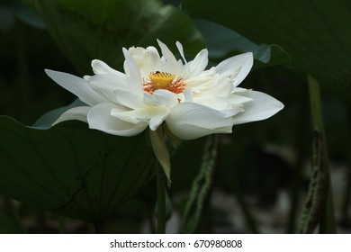 Lotus is a large and erect aquatic perennial, found in the water bodies of rural area of Bangladesh. The plant is also native to Tropical Asia.