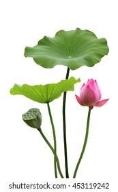 Lotus and the lotus leaf