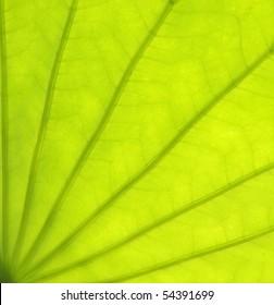 lotus leaf in closeup view