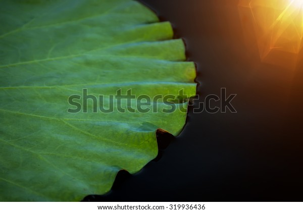 Lotus leaf on the black water with light.