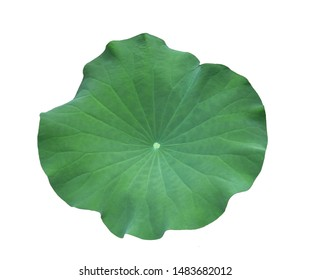 A Lotus leaf on white background