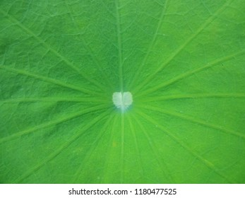 lotus leaf with soft focus background