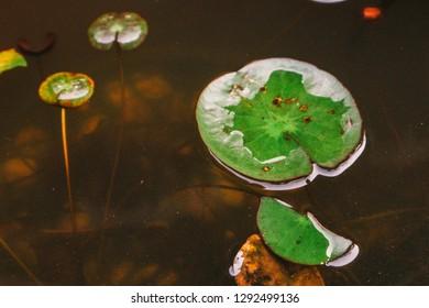 Lotus leaf water 2