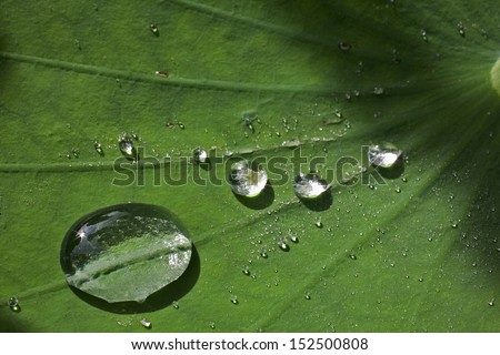 Lotus leaf with water drops effect green