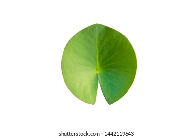 Lotus leaf or leaf of water lily flower, which is clearly on a white background. It is a plant that is commonly found in tropical areas.