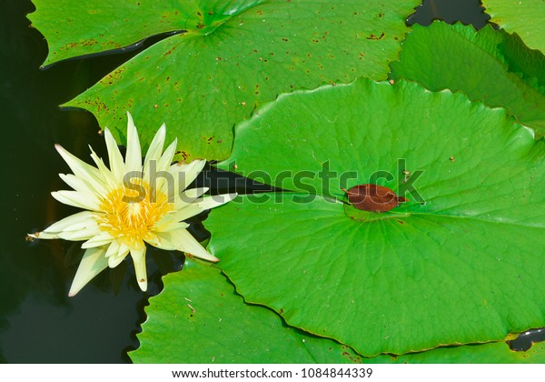 lotus and lotus leaf in the water.waterlily and leaf in the water