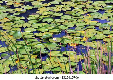Lotus leaves and blossom at Yedigoller,Bolu,Turkey
