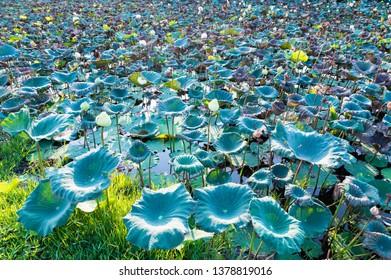 Lotus leaves field