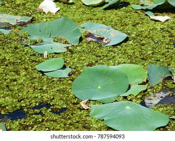 Lotus leaves in the pond with other aquatic plants