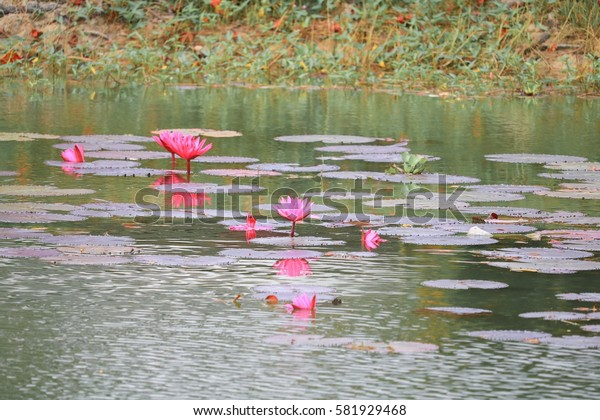 Lotus lilly pink on water beautiful