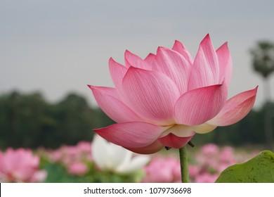 Lotus or lily, Nelumbo nucifera, also known as Indian lotus, sacred lotus, bean of India, Egyptian bean
