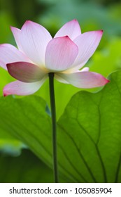 Lotus with long stalk in water pool