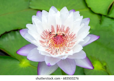 Lotus in morning and bee pollinating.