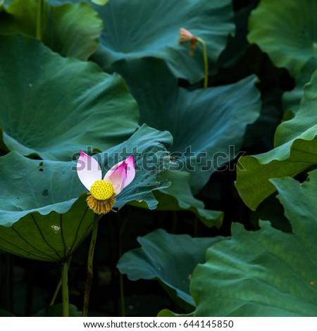Lotus National Flower Stock Photo Edit Now 644145850 Shutterstock