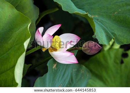 Lotus National Flower Stock Photo Edit Now 644145853 Shutterstock
