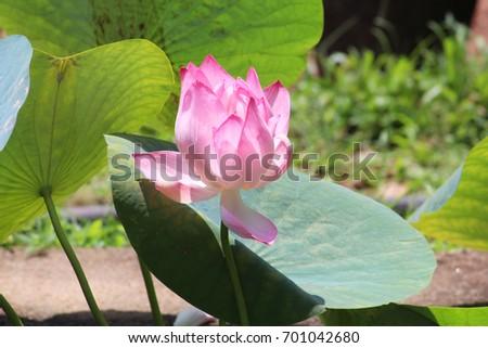 Lotus National Flower India Stock Photo Edit Now 701042680