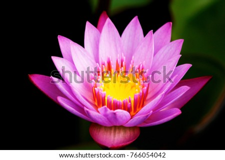 Lotus National Flower India Rare Violet Stock Photo Edit Now