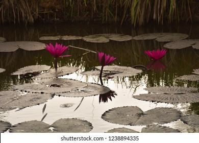 Lotus in the nature pond
