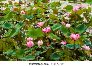 The lotus of the old pond is decorated with a colorful water lily,water plant with reflection in a pond.