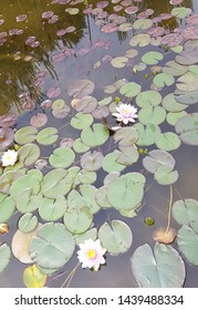 Lotus on the pond white coler