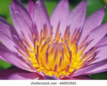Lotus on sunshine