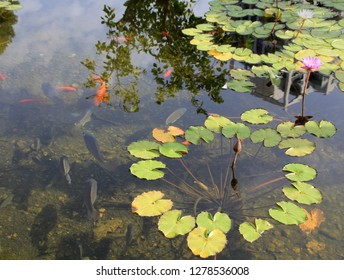 lotus on the water surface and fishes