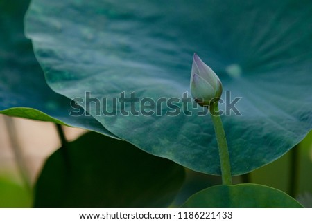 Lotus One Most Popular Vietnamese Flowers Stock Photo Edit Now