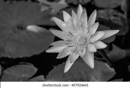 lotus ; lotus pictures Monochrome; black and white picture;black;white;Monochrome;nature ; flowers;Black and white flowers ;black and white picture;