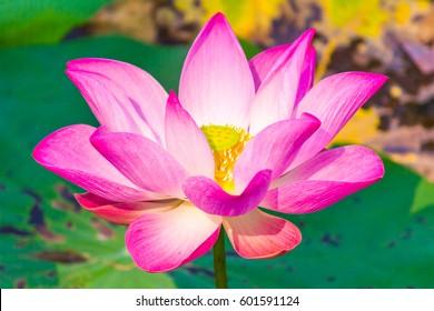 Lotus pink.