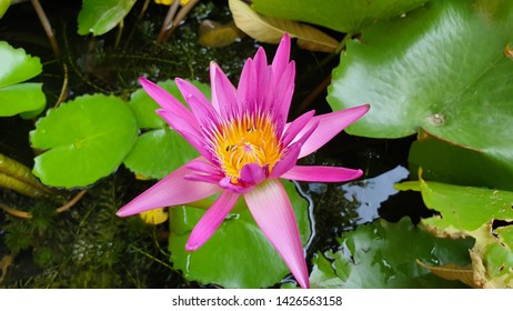 Lotus Flower Meaning Images Stock Photos Vectors Shutterstock