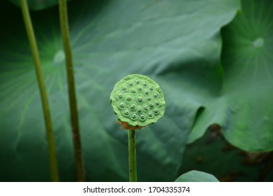 Lotus pod with background of lotus leaves
