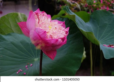 Lotus at the pond.