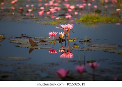 The lotus in the pond is blooming in the morning. Along with the reflection in the water.The lotus in the pond is blooming in the morning. Along with the reflection in the water.