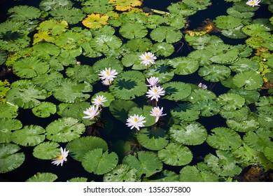 Lotus Pond, Candidasa, Karangasem, Bali, Indonesia